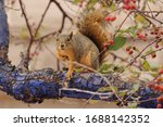 Fox Squirrel  Sciurus Niger ...
