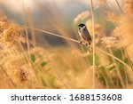 A Common Reed Bunting Emberiza...