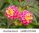 Lantana Camara Or Common...