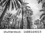 Date Palm Trees In The Palm...