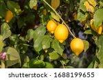 Ripening  Yellow Lemons With...
