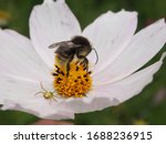 Bumblebee Collects Nectar On A...