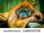 Orangutan Portrait Scene View....