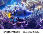 Lagoon Triggerfish Also Known...