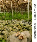 cod stockfish drying on racks ... | Shutterstock . vector #1688574055