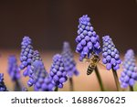 Bee Collects Pollen From Grape...