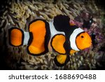 Clownfish with thick black...
