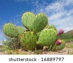 Arizona Desert Cactus Of...