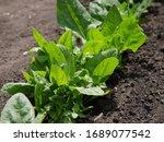 Green Spinach In The Garden