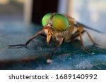 A Green Eyed Fly. Philipomyia...