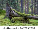 Cracked And Fallen Fir Tree In...