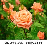 Orange Beautiful  Rose Growing...