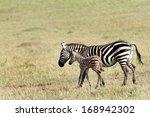 A Beautiful Baby Zebra In...
