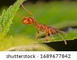 Myrmica Rubra  Also Known As...