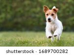 Playful happy jack russell...