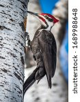 A Male Pileated Woodpecker...