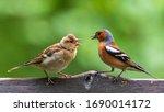 Common Chaffinch Feeding On...