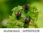 Japanese Scarab Beetles Are...