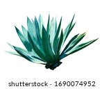 Exotic Plant Agave Isolated On...