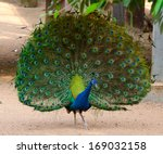 Beautiful Peacock With Fully...