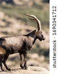 Male Of Mountain Goat In La...