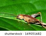 a cricket on green leaf | Shutterstock . vector #169051682