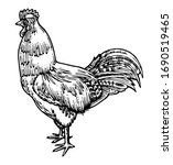 Hand Drawing Cock Vector....