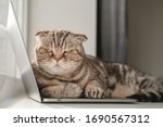 Dissatisfied Cat Scottish Fold...