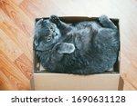 Grey Scottish Fold Cat Sitting...