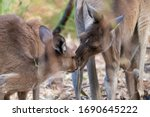 Couple of western grey kangaroos showing affection and love to each other. Male and female. Yanchep national park, Western Australia WA, Australia