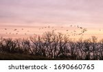 Canada Geese In Flight At Sunset