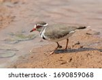 One Threebanded Plover At A Dam ...