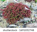 Beautiful Bird Sedum With...