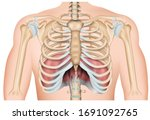 ribs with diaphragm 3d medical... | Shutterstock .eps vector #1691092765