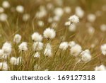 Cotton Grass At Bowness Common