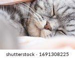 The Gray Scottish Fold Cat Gray ...
