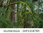 Landscape of forest and large moss-covered branch at Point Defiance Park in Tacoma, Washington