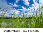 Bulrush  Cattails And Reeds At...