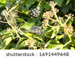 Shrub With Black Berries And...