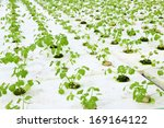 celery planted on a plantation  ... | Shutterstock . vector #169164122