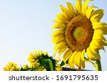 The Sunflower On The Right...