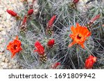 A Kingcup Cactus With Bright...