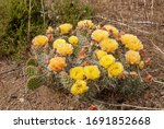 Plains Prickly Pear Cactus ...