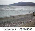 Magellanic Penguins On The...