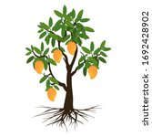 mango tree  fruit and roots on... | Shutterstock .eps vector #1692428902