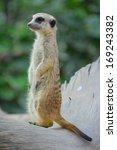 standing meerkat in thailand zoo | Shutterstock . vector #169243382