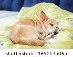 Small Cute Tired Chihuahua Dog...