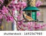 A House Sparrow  Passer...