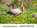 Yellow Billed Stork Or Wood...