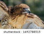Hawk At Adirondack Wildlife...